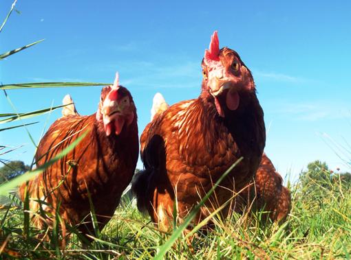 Conad non venderà più uova da galline in gabbia