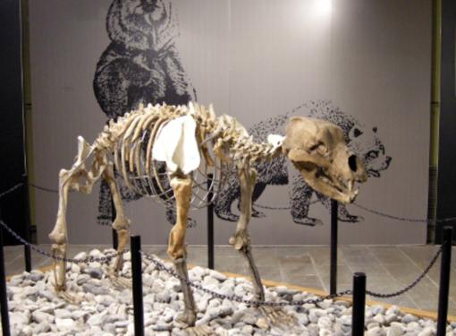 L'interno del museo Conti di Borgosesia con l'orso speleo