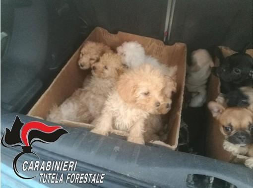 Cuccioli importati illegalmente dall'Est Europa, indagate 9 persone