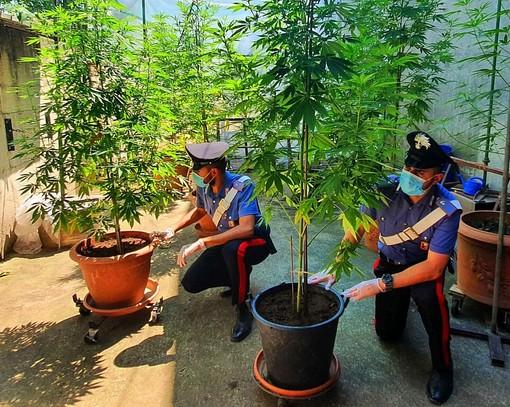 Landriano: sorpresa a coltivare 9 piante di marijuana, denunciata una 55enne