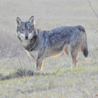 Oltrepò: avvistato un lupo alle porte di Broni, le associazioni invitano a non cedere a inutili allarmismi