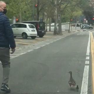 VIDEO. Persi nel traffico di Torino, mamma anatra e il suo piccolo scortati dalla polizia municipale al Po