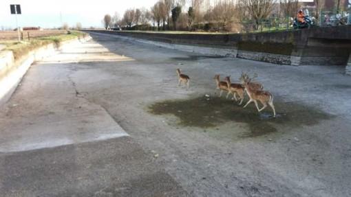 Avvistato gruppo di cervi nell'alveo del Naviglio di Bereguardo