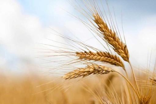 Coldiretti: schizza il prezzo del grano, +16%