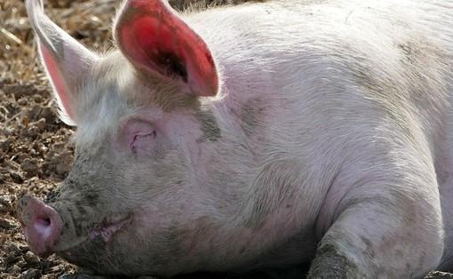 Coldiretti Lombardia: «Stop speculazioni sui maiali»