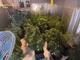 Traffico di sostanze stupefacenti tra Pavia e Zinasco: arrestate 9 persone e sequestrate quattro piantagioni di marijuana